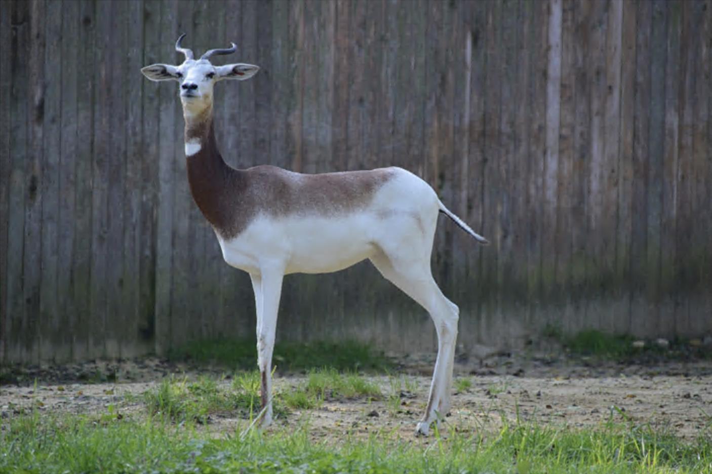 Dama gazelle stands in grass enclosure