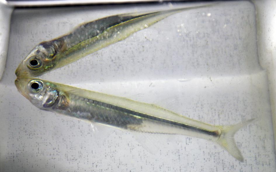 Small fish reflected in aquarium