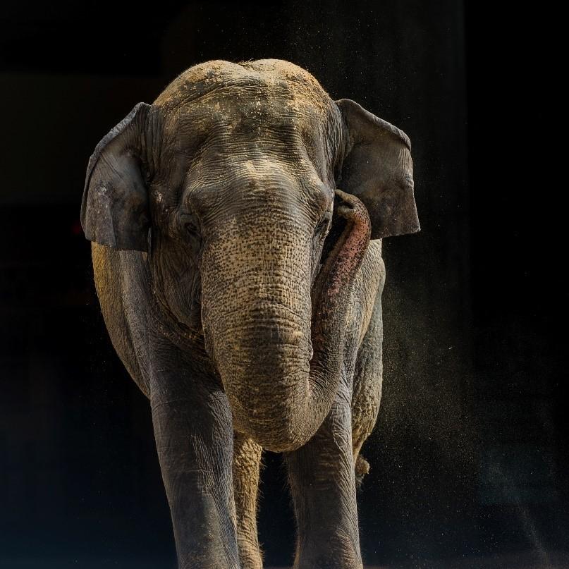 Shanthi the Elephant