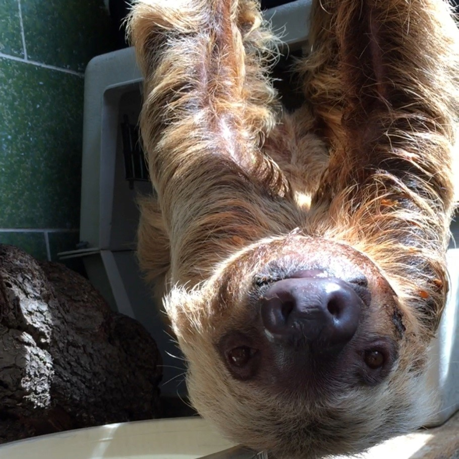 Two-toed sloth Ms. Chips