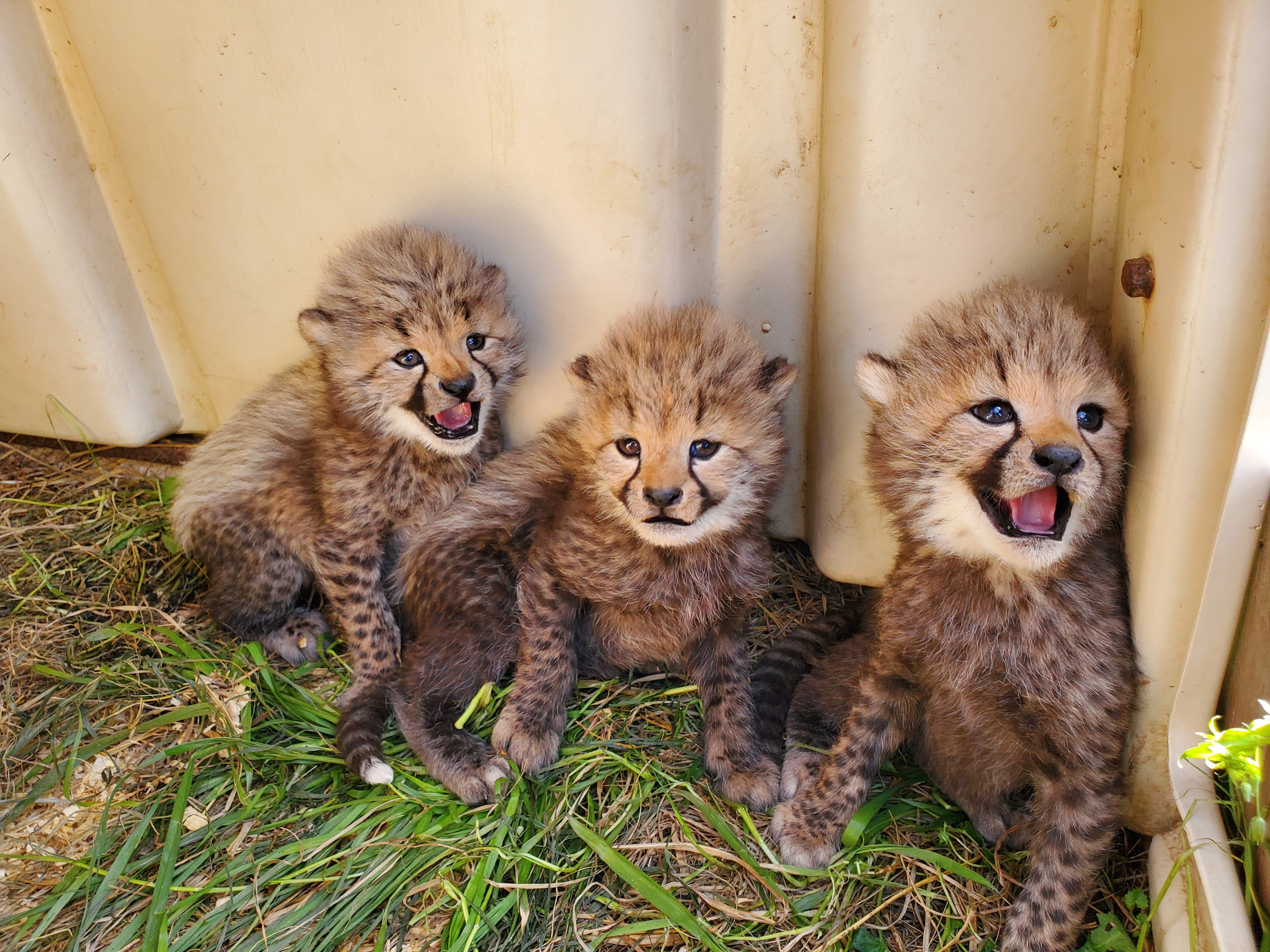 Three baby cheetahs in their enclosure