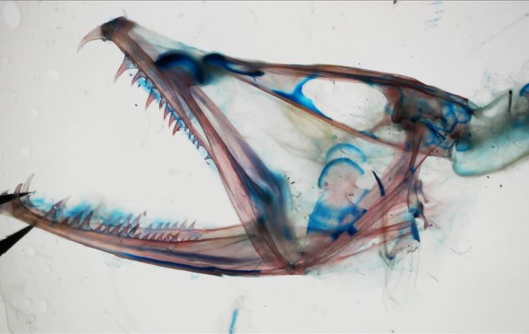 xray image of dragonfish head