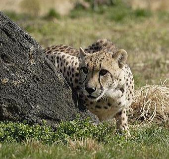 Tumai the cheetah