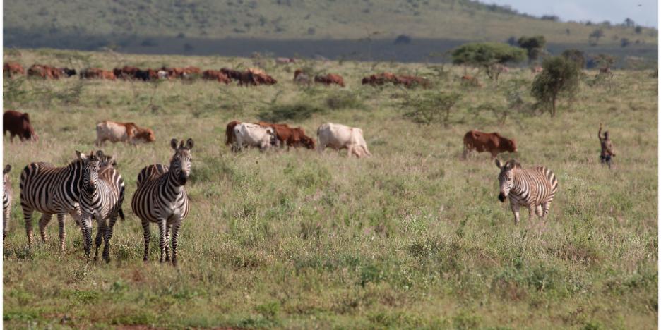Zebras wander grassy plains
