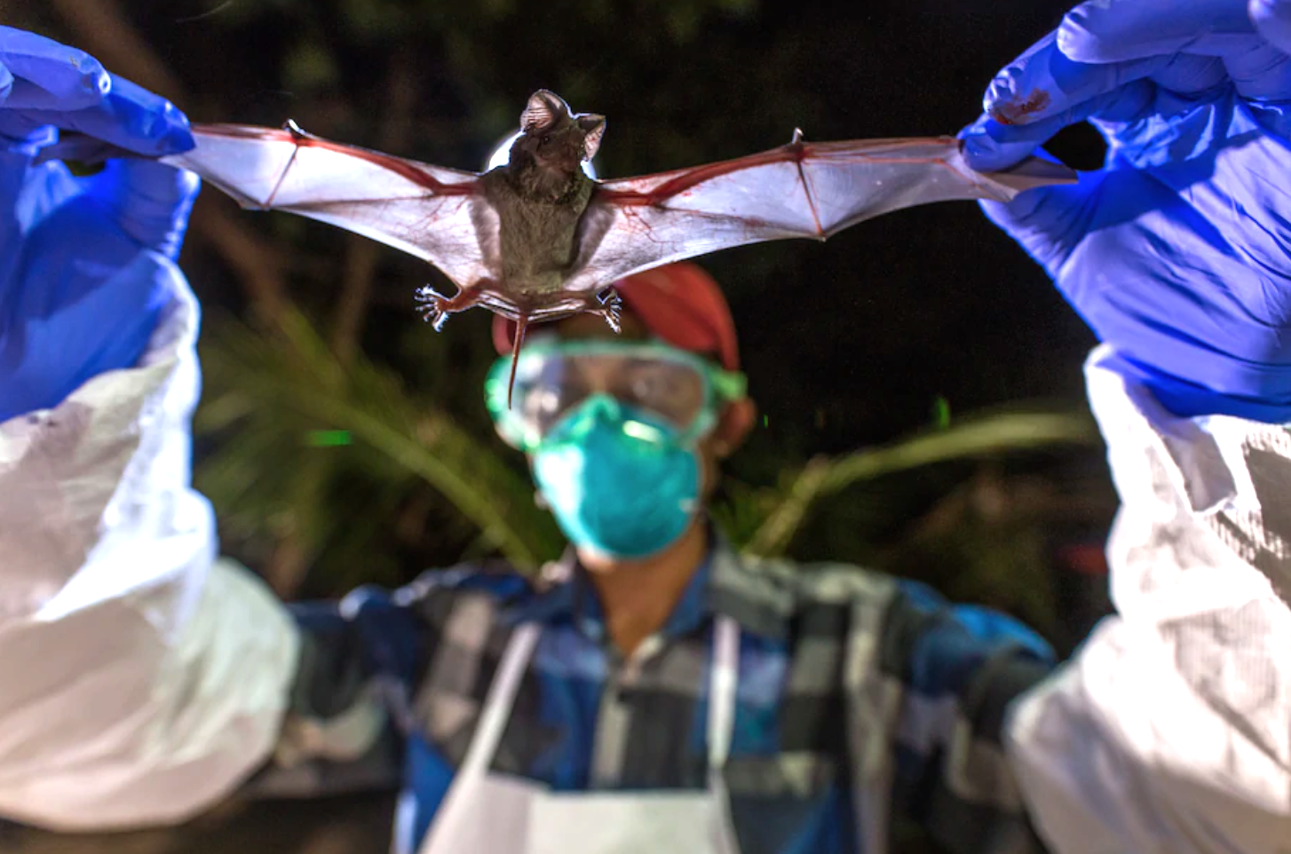 A scientist with the Global Health Program holds a wrinkle-lipped bat in Myanmar
