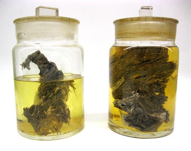 Berezovka Woolly Mammoth—Flesh in a Jar
