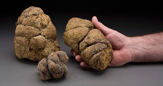 Giant Sloth Dung, Pleistocene Epoch