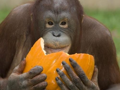 orangutan with pumpking