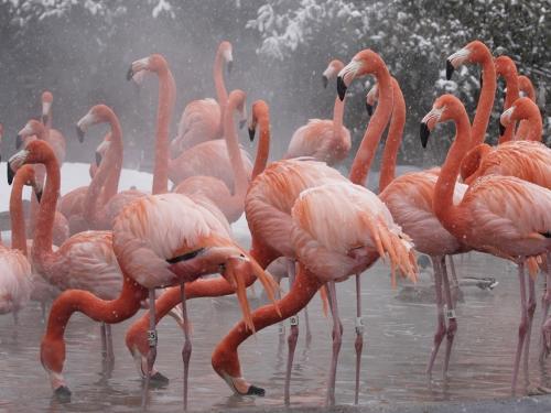 Flamingos in water as snow falls.