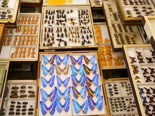 Butterfly collection, Entomology, Natural History Museum