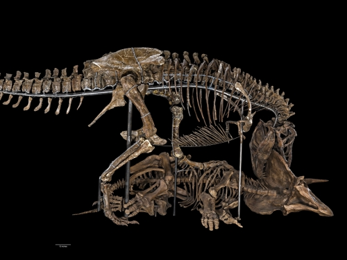 t-rex fossil