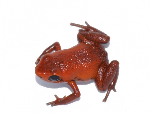 First Adinobates geminisae froglet hatched in captivity