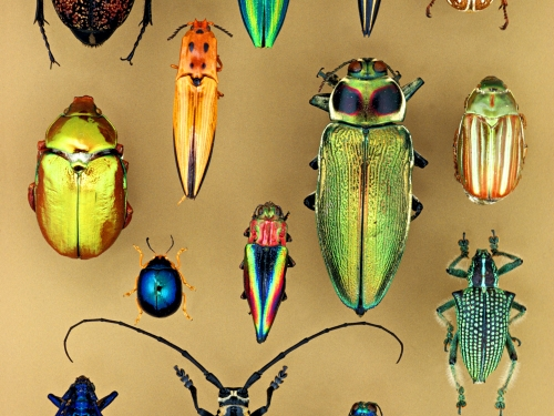 Arrangement of iridescent insects