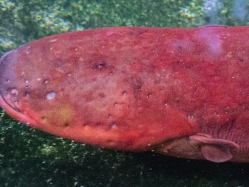 red eel