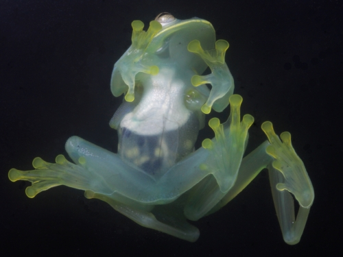 Pair of green glass frogs