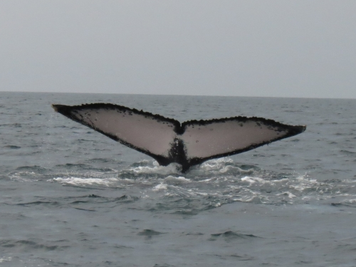 Humpback whale tail breeching
