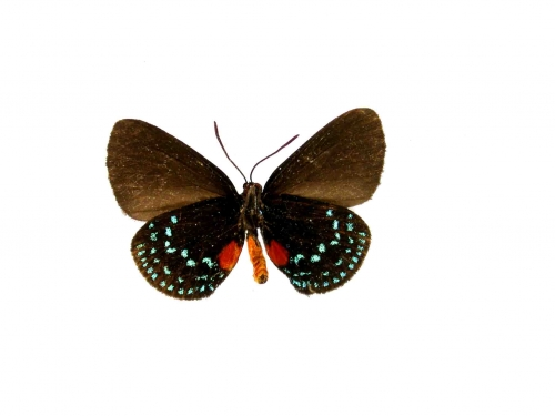 underside of male atala butterfly