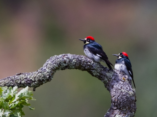 Two woodpeckers on a branch