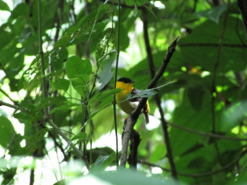 Yellow bird in tree