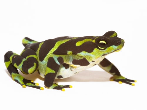 Green and black frog