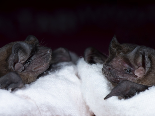 Two small bats on a towel