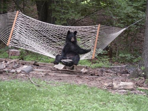 bear in a hammock