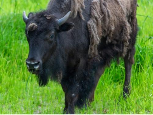 Bison sheddin gits winter coat