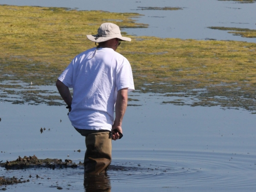 Researcher wading in marsh