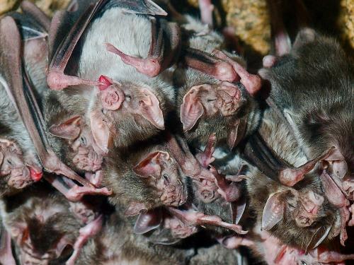 Vampire bats clustered together