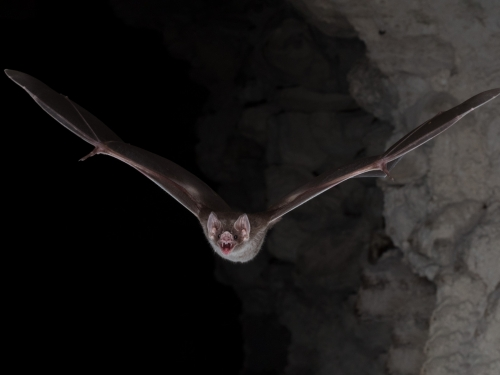Vampire bat flying directly at camera
