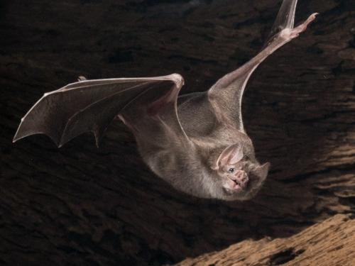 Vampire bat in flight