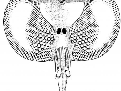 Burmapogon drawing