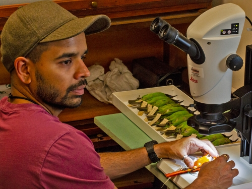 Man works at a microscope with bird specimen