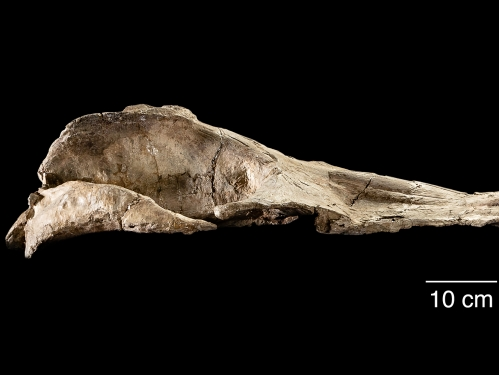 Jaw bone of Maiabalaena nesbittae