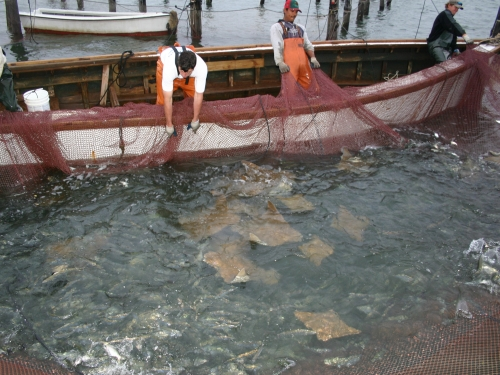 Rays caught in commercial net
