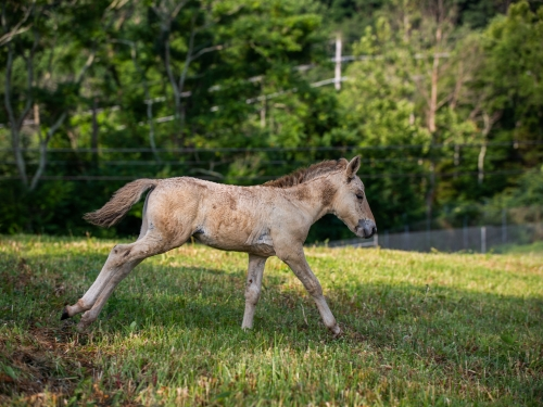 Emma's colt at the Smithsonian Conservation Biology Institute.