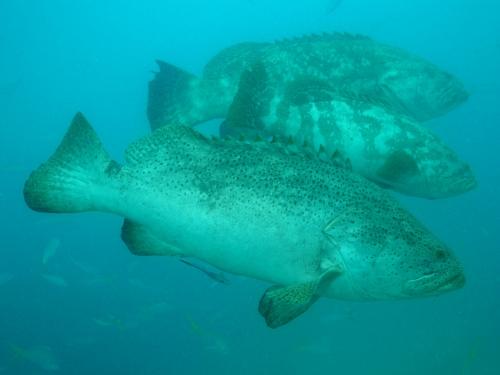 Three Goliath groupers