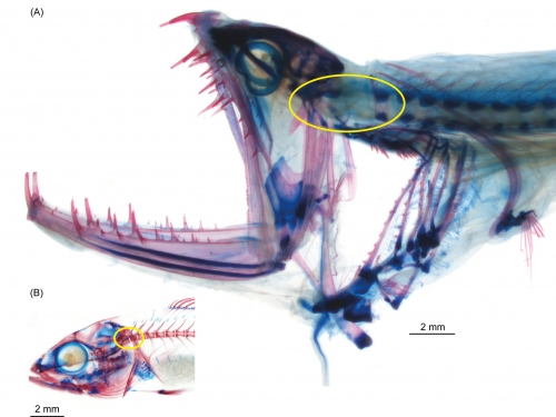 xray image of fish