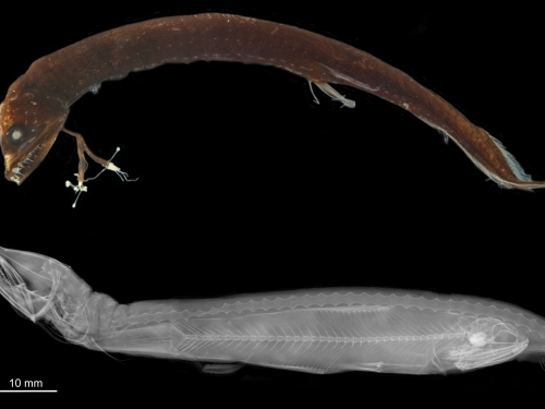 xray images of dragonfish