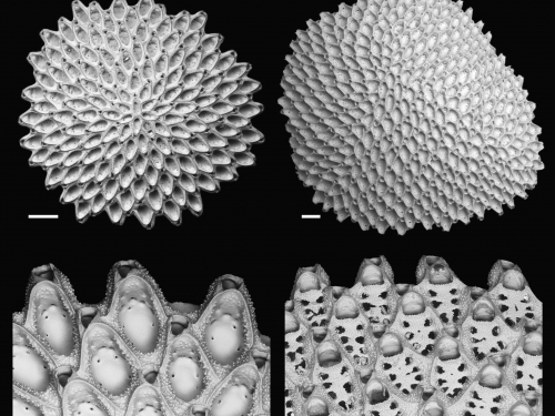 collage of cupuladriid colonies