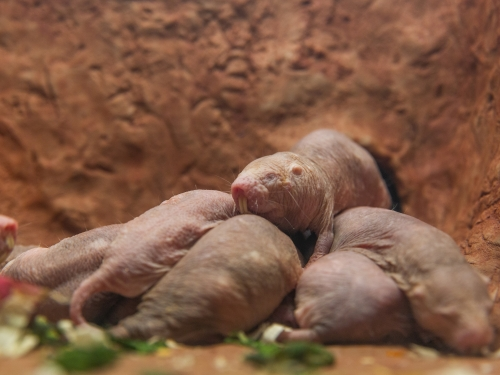 Naked mole-rats in their brand new exhibit at the Smithsonian's National Zoo