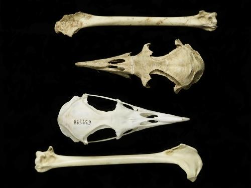 Petrel skulls and bones