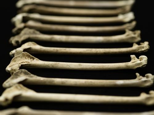 line of petrel wing bones