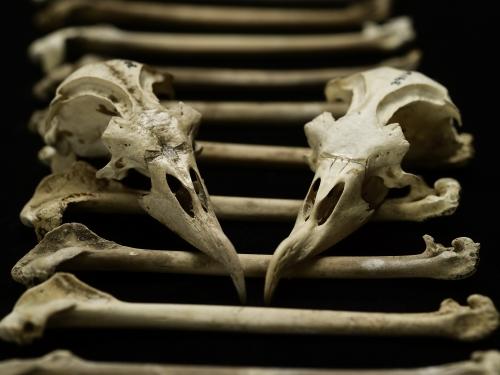 arrangement of modern and archaeological petrel bones and skulls