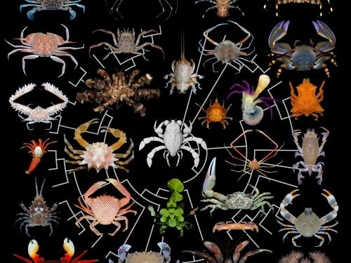 Diversity of Crab Forms illustration