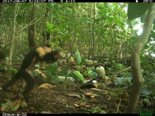 Monkey using stone to hammer