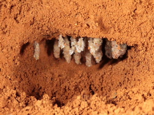 ant fungal garden chamber