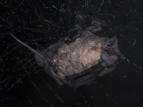 a bat caught in a net