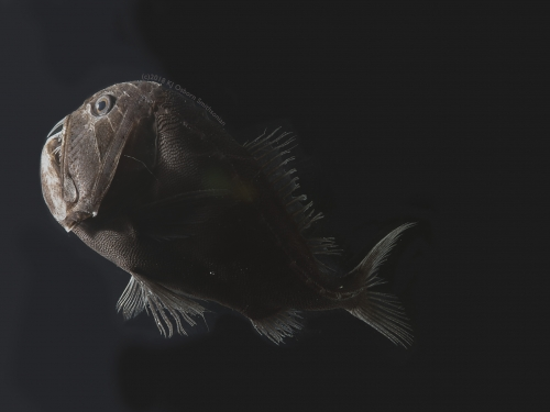 Deep-sea ultra black fish