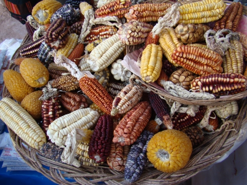 Maize varieties